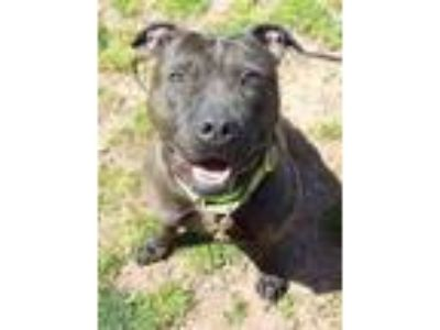 Adopt Lilly a Pit Bull Terrier, Mixed Breed
