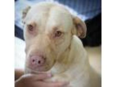 Adopt Vivian a Tan/Yellow/Fawn Staffordshire Bull Terrier dog in Starkville