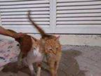 Adopt Jerry--Dubai UAE--Arabian Mau a Egyptian Mau / Mixed cat in Marion