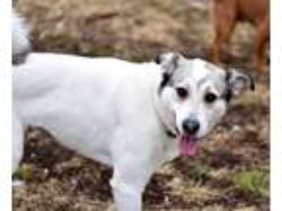 Adopt Fallon a White Great Pyrenees / Labrador Retriever / Mixed dog in