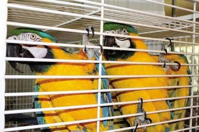 Macaw parrots ready