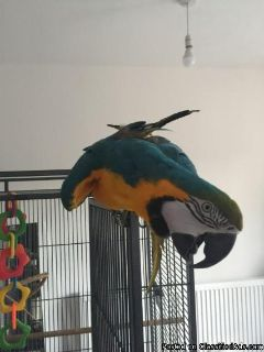 Green Winged Macaw For Sale