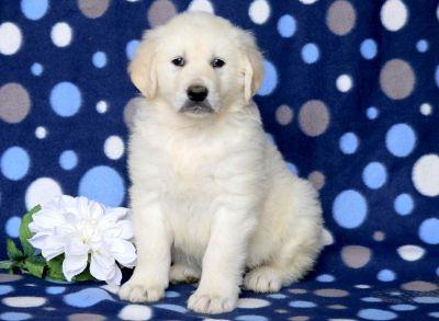 Golden Retriever PUPPY FOR SALE ADN-79210 - English Cream Golden Retriever Puppy