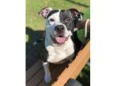 Adopt Omega a Black American Pit Bull Terrier / Mixed dog in Wantagh