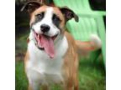 Adopt Blarney (Bandit) a Jack Russell Terrier