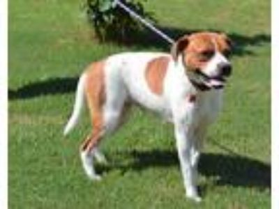 Adopt Lola a White - with Tan, Yellow or Fawn Boxer / Mixed dog in Kennesaw