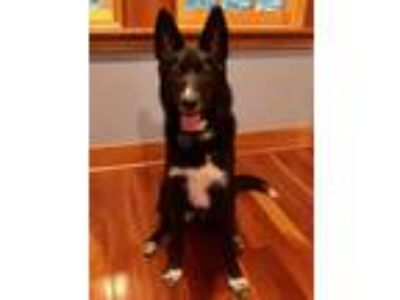 Adopt Maisy a Black - with White Border Collie / Shepherd (Unknown Type) / Mixed