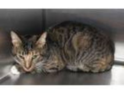 Adopt Pen 32 Petunia a Domestic Short Hair