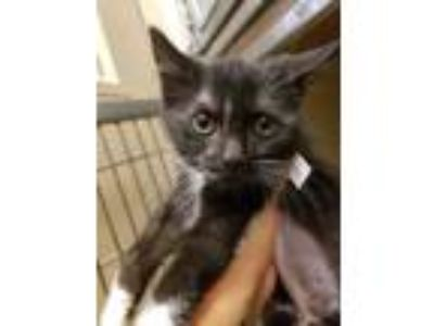 Adopt Cookies a White Domestic Shorthair / Domestic Shorthair / Mixed cat in
