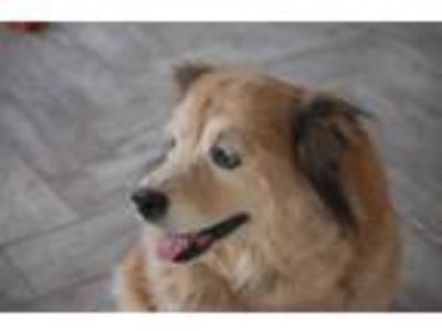 Adopt Sweet Pea a Chow Chow, Golden Retriever