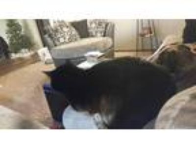 Adopt Cat a All Black American Shorthair / Mixed cat in Sioux Falls