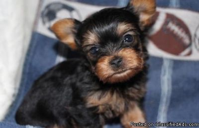 Lucky Cute M/F Teacup Yorkshire Terrier Puppies