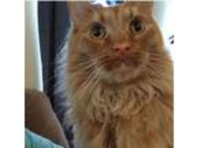 Adopt *Bilbo a Orange or Red Tabby Domestic Longhair / Mixed cat in Charlotte
