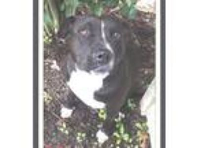 Adopt A - MAYA a Black - with White Pit Bull Terrier / American Staffordshire