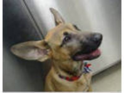 Adopt LUCKY a Shepherd, Black Mouth Cur