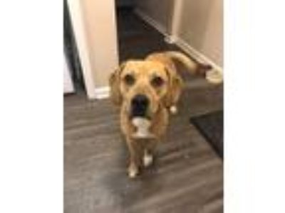 Adopt Cass a Tan/Yellow/Fawn - with White Labrador Retriever / Beagle dog in New