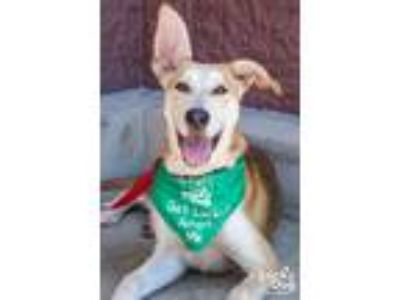 Adopt Dear a Tan/Yellow/Fawn - with White Shepherd (Unknown Type) / Mixed dog in
