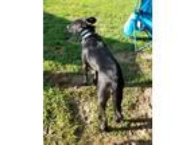 Adopt Lucius a Black - with White Australian Shepherd / Labrador Retriever /