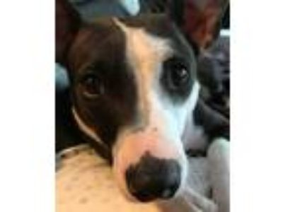 Adopt Nyx a Italian Greyhound, Pit Bull Terrier