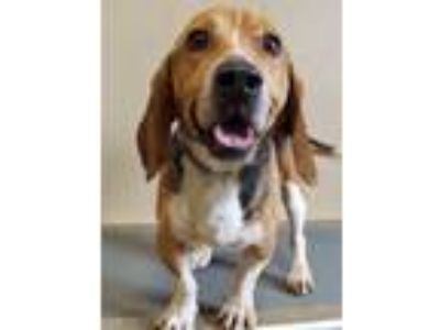Adopt Monty a Tricolor (Tan/Brown & Black & White) Basset Hound / Mixed dog in