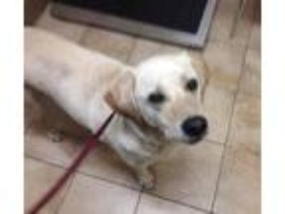 Adopt Hunter a Labrador Retriever