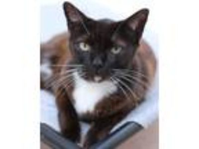 Adopt Mittens Toro a Domestic Shorthair / Mixed (short coat) cat in Ft.