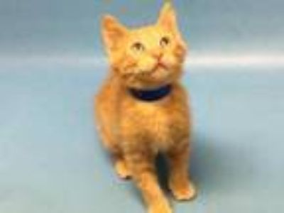 Adopt Gatiano a Orange or Red Domestic Shorthair / Mixed cat in Golden Valley