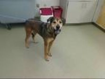 Adopt HARLEY a German Shepherd Dog, Mixed Breed