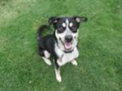 Adopt Max A156689 a Border Collie
