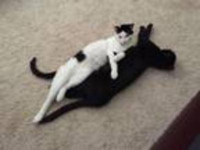 Adopt BUSTER (Courtesy listing) a Domestic Short Hair