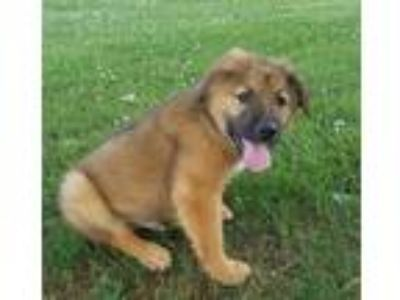 Adopt Teddy a Tan/Yellow/Fawn - with Black Shepherd (Unknown Type) / Mixed dog