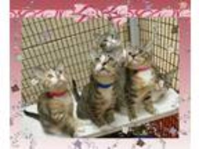 Adopt KELSI KITTENS see KELSI a Tan or Fawn Tabby Domestic Shorthair (short