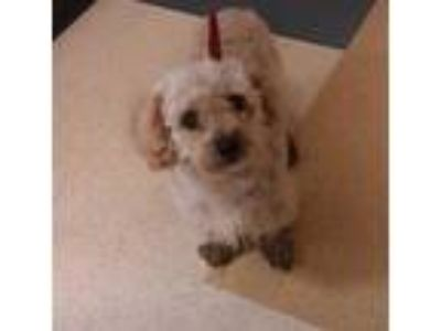 Adopt 41773914 a Tan/Yellow/Fawn Poodle (Miniature) / Mixed dog in Mesquite