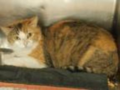 Adopt Cleo-Barn Cat-Siloam Springs a Calico