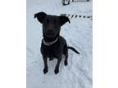 Adopt Diamond a Black German Shepherd Dog / Labrador Retriever / Mixed dog in