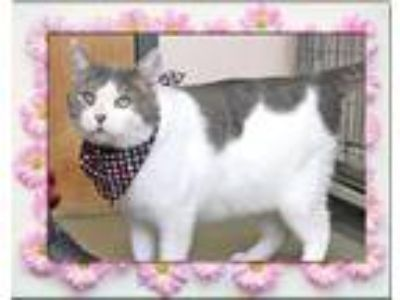 Adopt Vinny a Domestic Short Hair