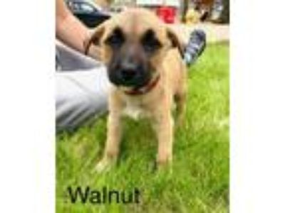 Adopt Walnut a Boxer, German Shepherd Dog