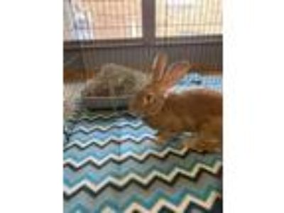Adopt King Protea a Flemish Giant