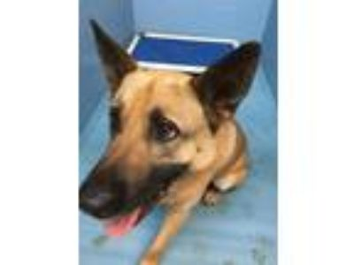 Adopt Yeti a German Shepherd Dog, Belgian Shepherd / Malinois