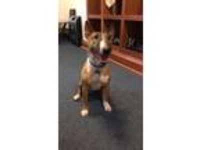 Adopt Sophie a Red/Golden/Orange/Chestnut - with White Bull Terrier / Mixed dog