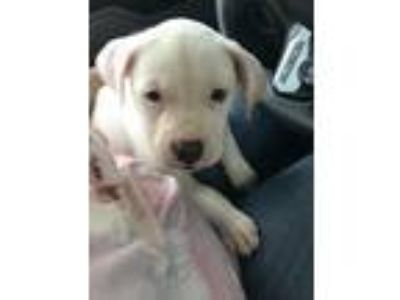 Adopt Ava a Labrador Retriever / Terrier (Unknown Type, Small) / Mixed dog in