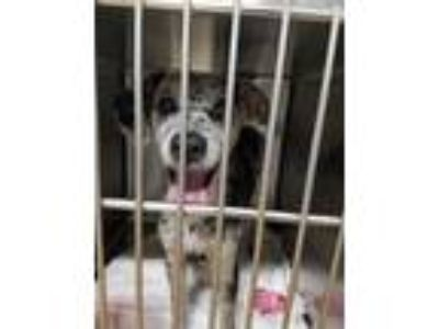Adopt Domingo a Black - with Gray or Silver Catahoula Leopard Dog / Terrier
