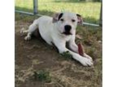 Adopt Domino a White American Pit Bull Terrier / Mixed dog in Brownwood