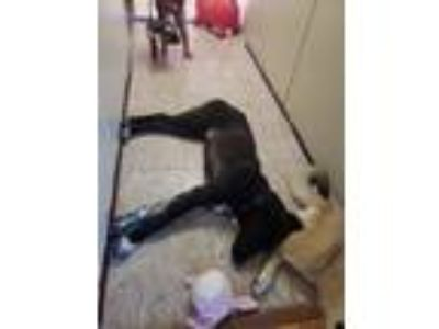 Adopt Cloak a Black - with White Golden Retriever / Labrador Retriever / Mixed