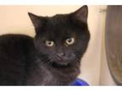 Adopt Daydream a All Black Domestic Shorthair / Domestic Shorthair / Mixed cat