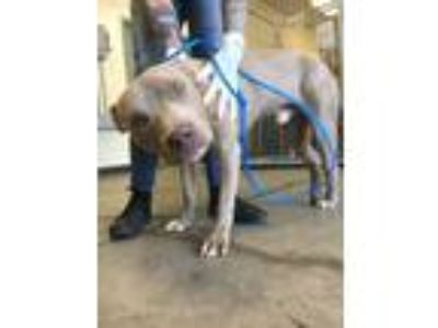 Adopt Blubmarine a Tan/Yellow/Fawn American Pit Bull Terrier / Mixed dog in