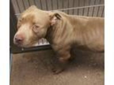 Adopt Boomer a Pit Bull Terrier