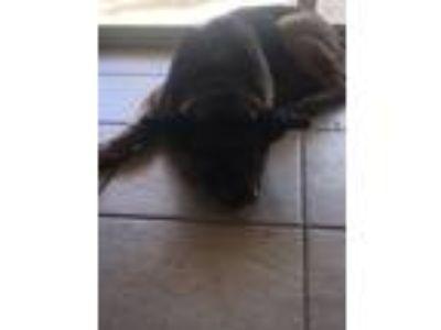 Adopt Flick a Black - with Tan, Yellow or Fawn German Shepherd Dog / Mixed dog