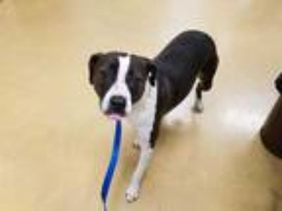 Adopt SASHA a Black - with White American Pit Bull Terrier / Mixed dog in