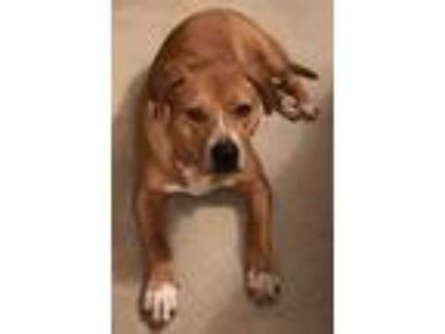 Adopt Andy a Australian Cattle Dog / Blue Heeler, American Staffordshire Terrier